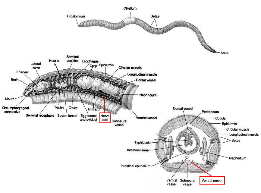earthworm anatomy diagram